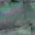 タカセ貝ブラック